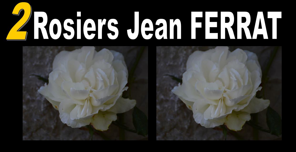 2 rosiers jean ferrat